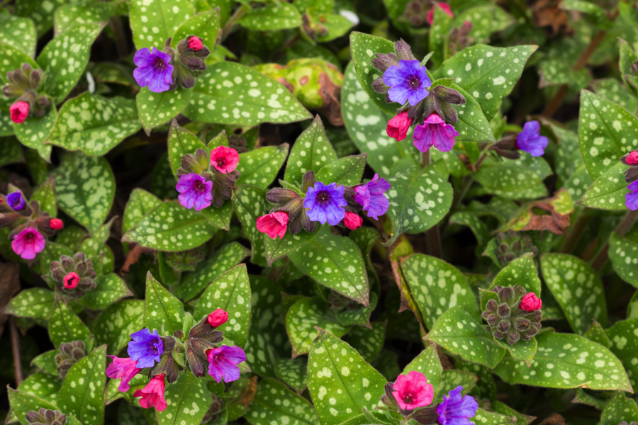 The Lung Cleansing Benefits of Lungwort